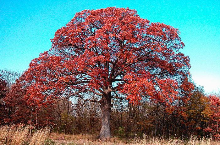 Обзор дерева красного американского дуба