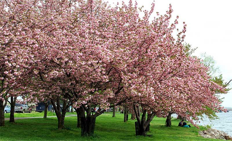 Обзор древесины вишни американской